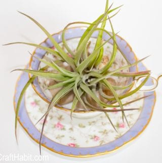 Have you Heard of Air Plants?