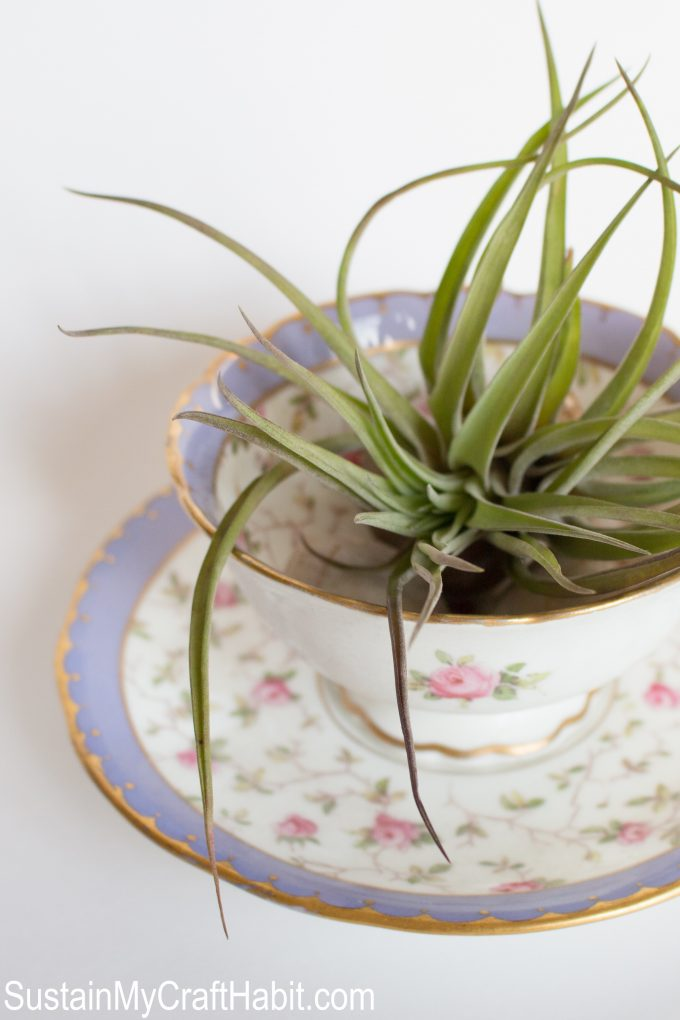 Air plants in vintage tea cups