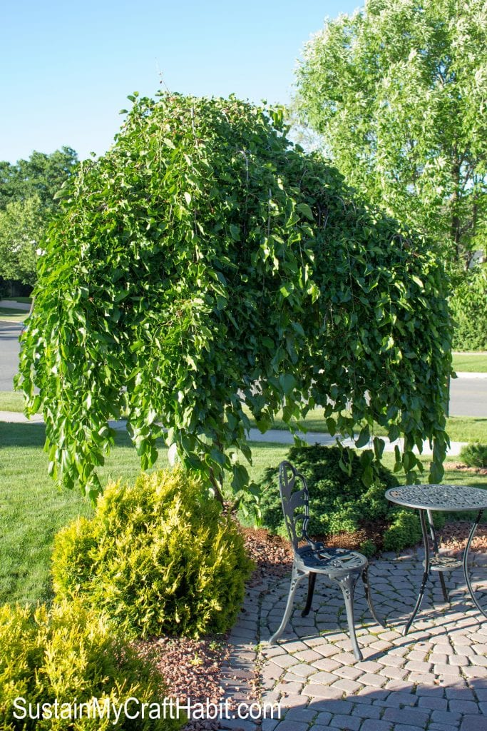 Small mulberry tree in the yard in the summer.