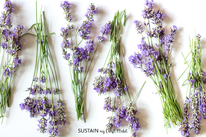 Bunches of fresh lavender ready to be dried.