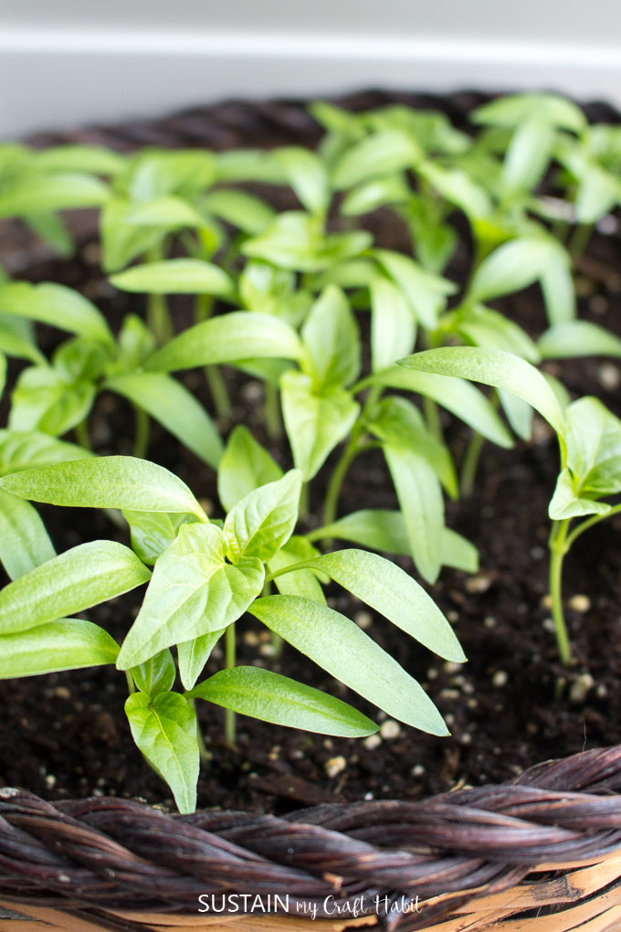 Rainbow pepper seedlings