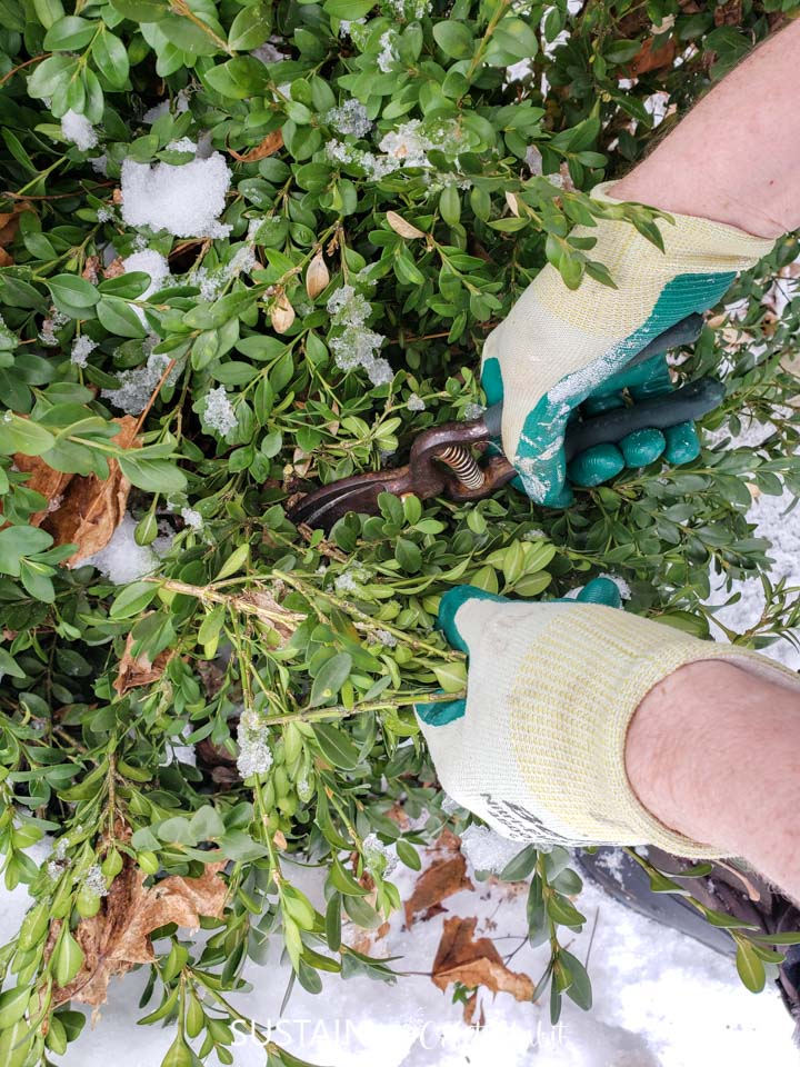 Cutting freah boxwood leaves with gardening shears.