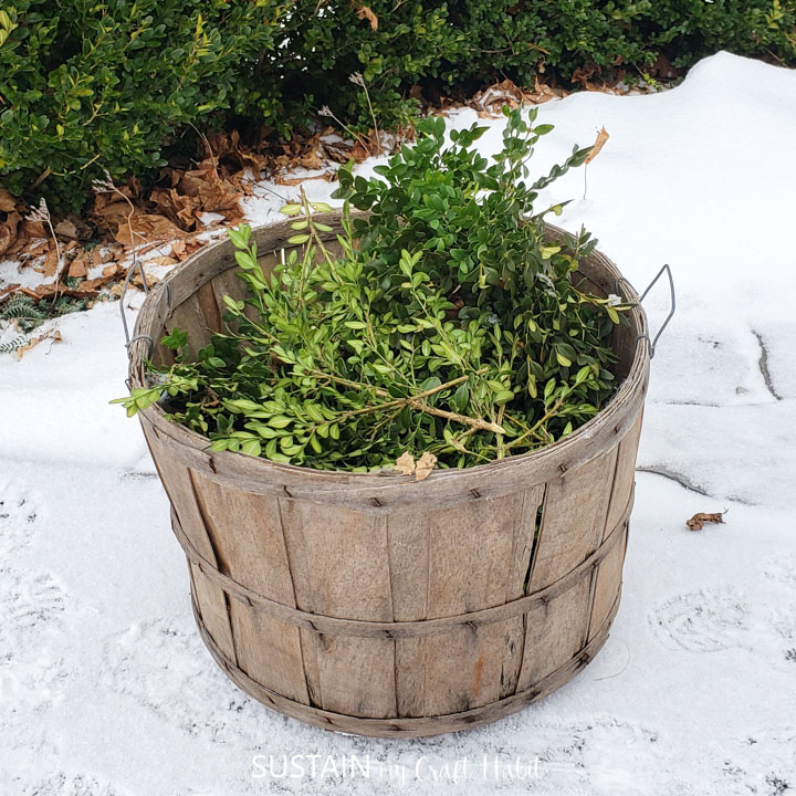 A wooden barrel holding boxwood leaves.