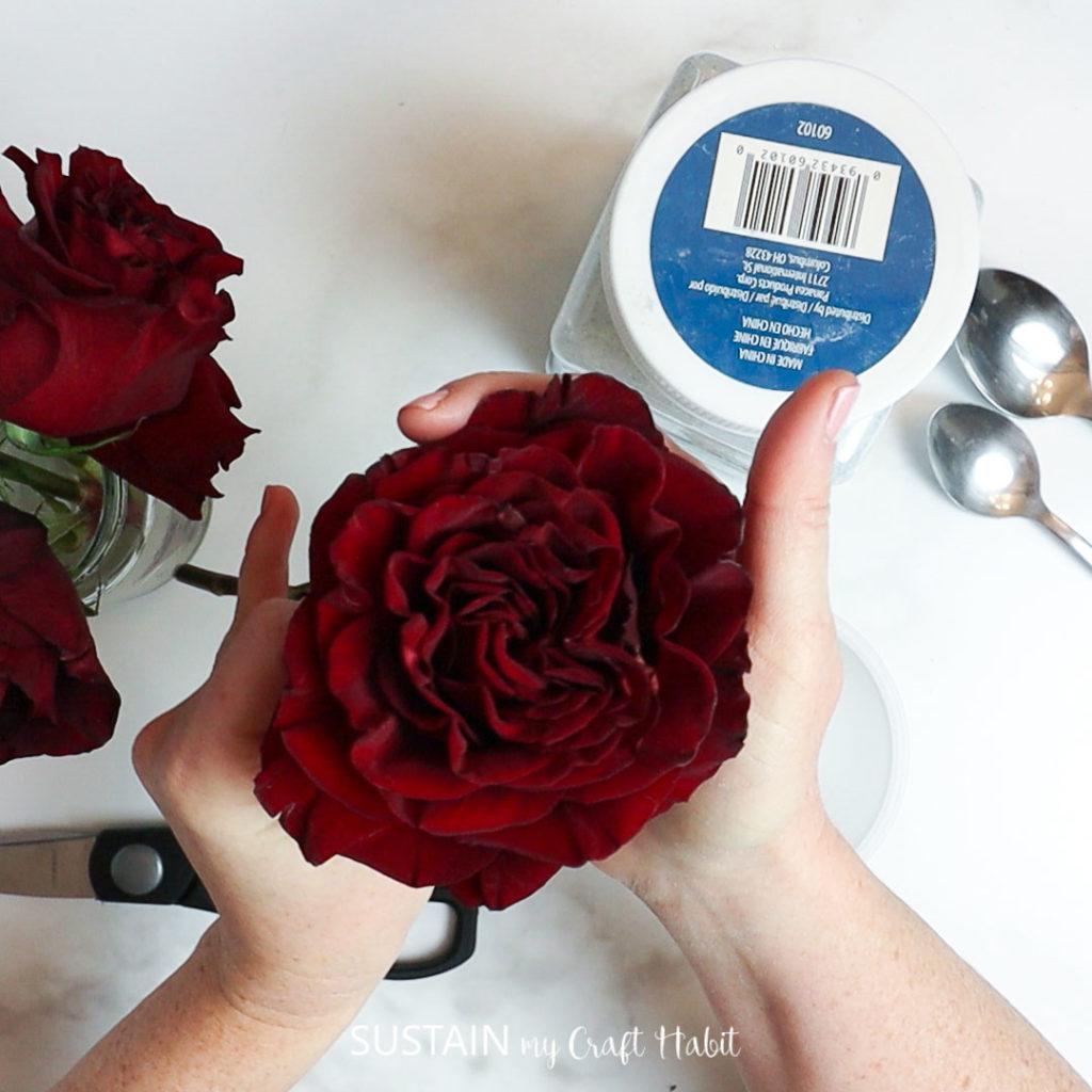 holdinga fresh rose before drying